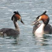 Australasian crested grebe. Pair with two chicks on parent's back, one chick with large fish received from other parent. Lake Wanaka, November 2014. Image © Kath McIndoe by Kath McIndoe