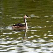 Australasian crested grebe. Juvenile on lake showing bill colour. Lake Alexandrina, February 2008. Image © Peter Reese by Peter Reese