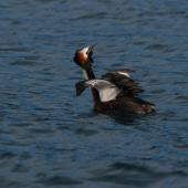 Australasian crested grebe. Adult on lake stretching wing. Lake Wakatipu, October 2010. Image © Peter Reese by Peter Reese