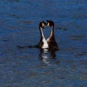 Australasian crested grebe. Pair displaying face to face on lake. Lake Wakatipu, October 2010. Image © Peter Reese by Peter Reese