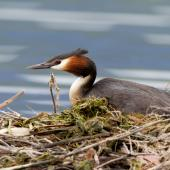 Australasian crested grebe. Adult on nest. Lake Te Anau, December 2013. Image © Laurie Ross by Laurie Ross Courtesy Laurie Ross Photography http://laurieross.com.au/