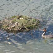 Australasian crested grebe. Adult approaching nest with three eggs. Lake Te Anau, February 2015. Image © Robbie Leslie by Robbie Leslie