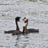 Australasian crested grebe. Pair displaying with juvenile looking on. Lake Alexandrina, March 2010. Image © Raewyn Adams by Raewyn Adams