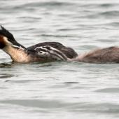 Australasian crested grebe. Adult feeding feather to juvenile. Mackenzie Country, February 2011. Image © Glenda Rees by Glenda Rees http://www.flickr.com/photos/nzsamphotofanatic/