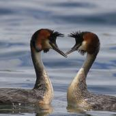 Australasian crested grebe. Pair displaying. Twizel, December 2012. Image © Glenda Rees by Glenda Rees Glenda Rees (http://www.flickr.com/photos/nzsamphotofanatic/)