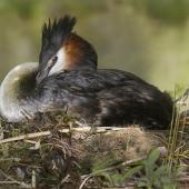 Australasian crested grebe. Adult on nest. Mackenzie Country, November 2011. Image © Glenda Rees by Glenda Rees http://www.flickr.com/photos/nzsamphotofanatic/