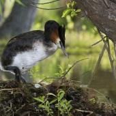 Australasian crested grebe. Adult bird climbing on nest. Mackenzie Country, November 2011. Image © Glenda Rees by Glenda Rees http://www.flickr.com/photos/nzsamphotofanatic/