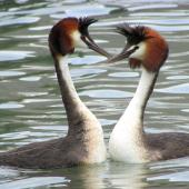 Australasian crested grebe. Pair reuniting. Lake Wanaka, January 2015. Image © Oscar Thomas by Oscar Thomas https://www.flickr.com/photos/kokakola11