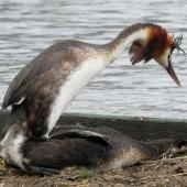 Australasian crested grebe. Adult pair mating. Lake Wanaka, January 2015. Image © Oscar Thomas by Oscar Thomas https://www.flickr.com/photos/kokakola11