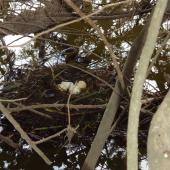 Australasian crested grebe. Nest with eggs. Kaituna River, December 2010. Image © Anita Spencer by Anita Spencer