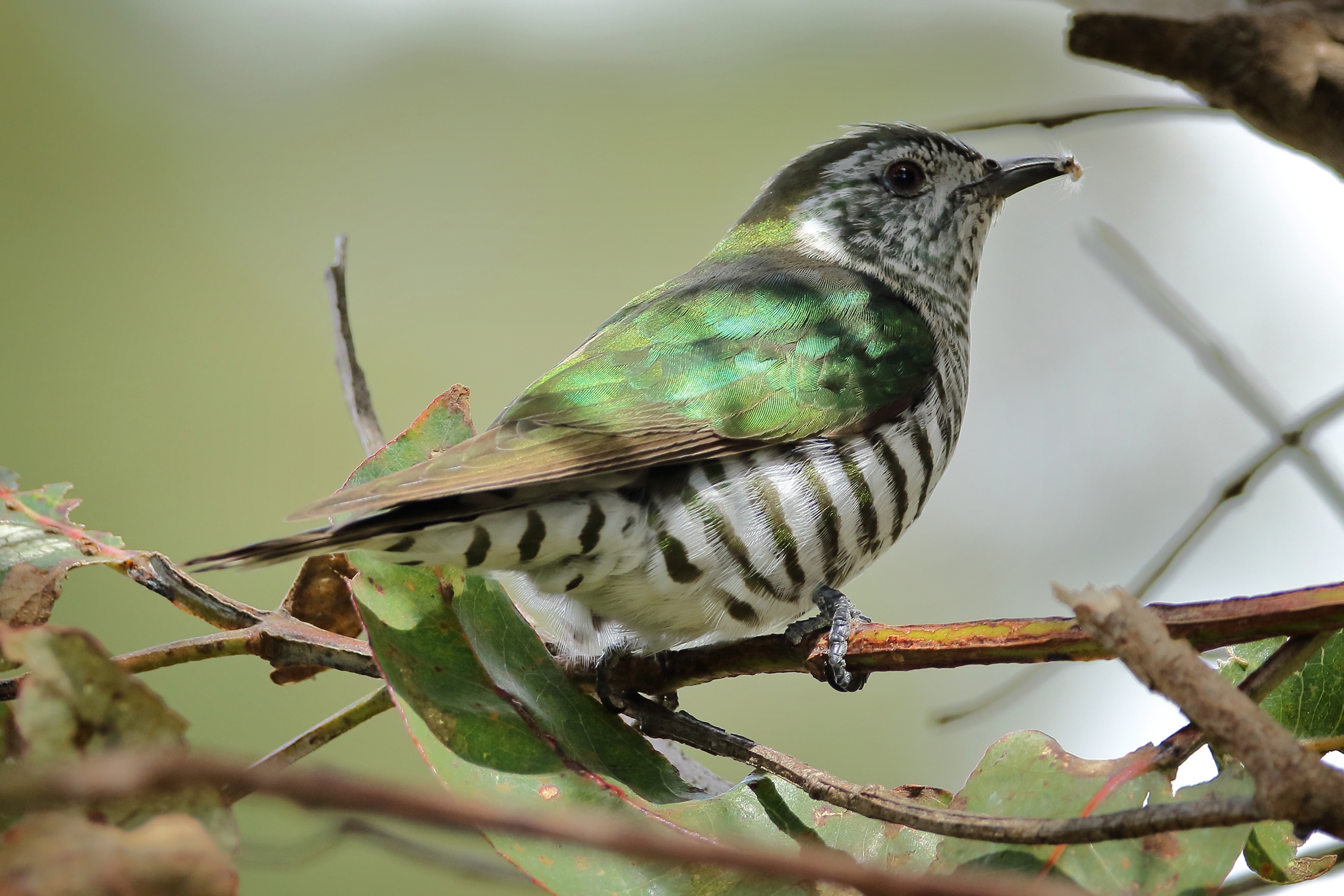 Shining Cuckoo Adult Feeding On Gum Leaf Skeletoniser Uraba Lugens Caterpillar From