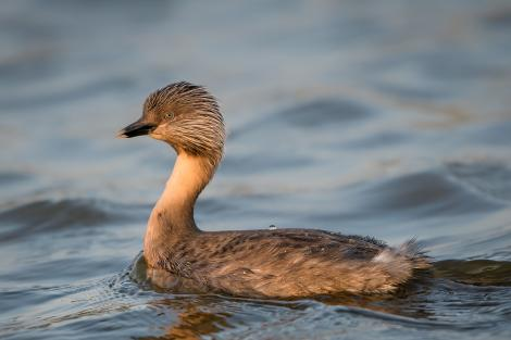 Hoary-headed grebe. Adult in breeding plumage. Lake Elterwater, September 2018. Image © Tony Whitehead by Tony Whitehead Tony Whitehead www.wildlight.co.nz