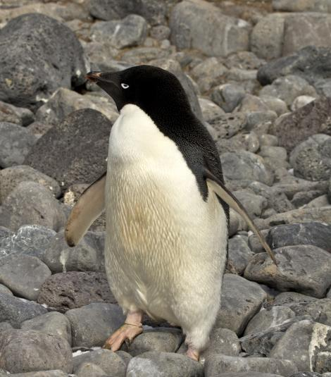 Adelie penguin. Adult standing. Paulet Island, Antarctic Peninsula, January 2016. Image © Rebecca Bowater  by Rebecca Bowater FPSNZ AFIAP www.floraandfauna.co.nz