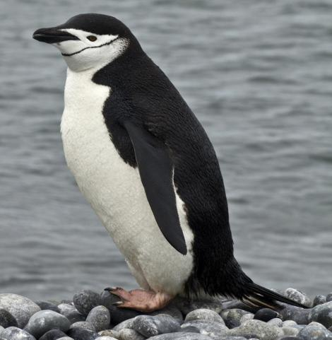 Chinstrap penguin. Adult standing on beach. Hardy Cove, South Shetland Islands, January 2016. Image © Rebecca Bowater  by Rebecca Bowater FPSNZ AFIAP www.floraandfauna.co.nz