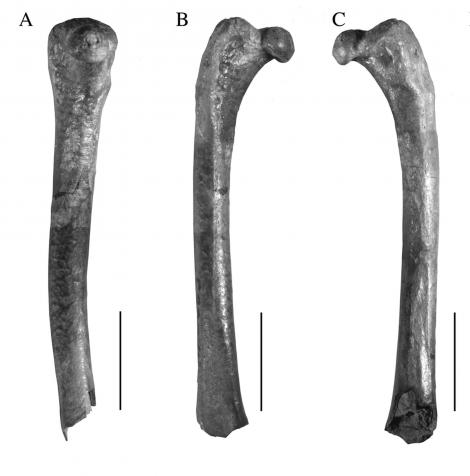 St Bathans kiwi. Right femur missing distal end, NMNZ S.53324 (A. medial view, B. cranial view, C. caudal view, scale bar 10 mm). St Bathans area, April 2012. Image © Trevor Worthy by Trevor Worthy