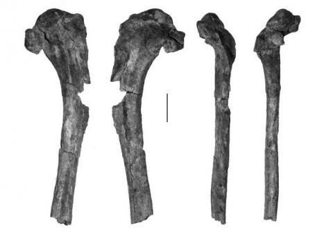 Love's Paleocene seabird. Proximal right humerus (part of holotype CM 2010.108.2). Scale bar = 10 mm. Waipara River, Canterbury. Image © Canterbury Museum by Kyle Davis
