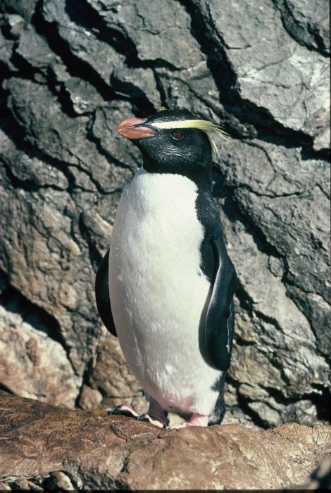 Fiordland crested penguin. Adult standing. Taumaka, Open Bay Islands, September 1988. Image © Colin Miskelly by Colin Miskelly