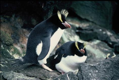 Erect-crested penguin. Pair at nest. Antipodes Island, October 1990. Image © Colin Miskelly by Colin Miskelly
