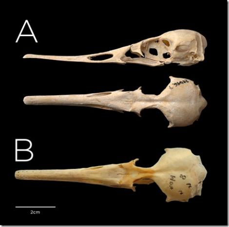 Chatham Island merganser. Composite image showing the Chatham Island merganser holotype cranium in lateral and dorsal view (A ) above the cranium of a female Auckland Island merganser (B). . Image © Te Papa