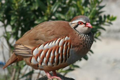Red-legged partridge. Adult. South Canterbury, October 2009. Image © Steve Attwood by Steve Attwood http://www.flickr.com/photos/stevex2/