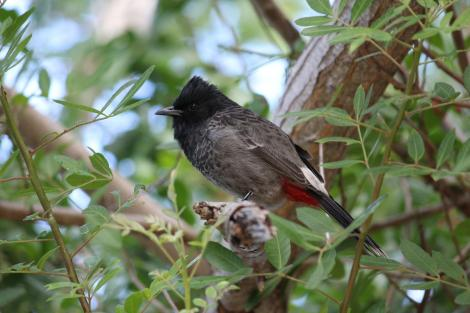 Red-vented bulbul. Adult sitting in tree. Noumea, May 2011. Image © Dianne Parker by Dianne Parker