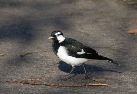 Magpie-lark. Adult male. Melbourne. Image © Sonja Ross by Sonja Ross