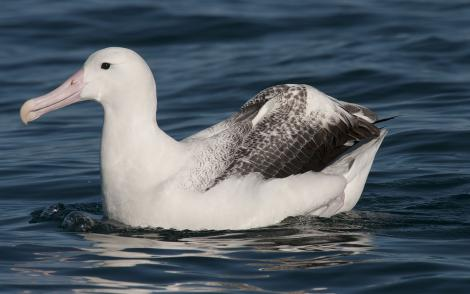 Southern royal albatross. Adult on water. Kaikoura pelagic, January 2013. Image © Philip Griffin by Philip Griffin