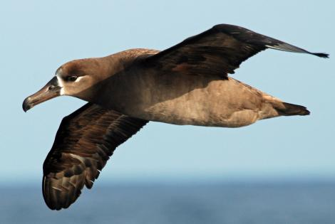 Black-footed albatross. Adult in flight, ventral. Tori-shima, Japan, April 2009. Image © Nigel Voaden by Nigel Voaden http://www.flickr.com/photos/nvoaden/