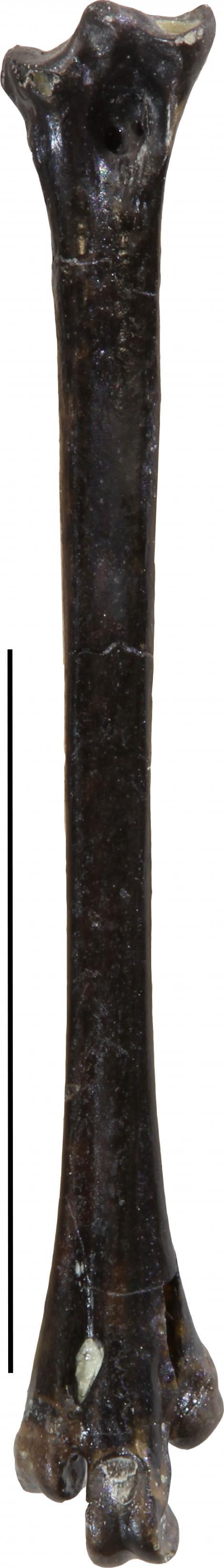 New Zealand lake-wanderer. Holotype right tarsometatarsus (NMNZ S.50806). Scale bar = 10 mm. St Bathans. Image © Vanesa De Pietri by Vanesa De Pietri
