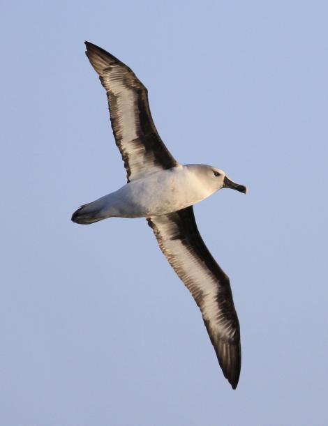 Grey-headed mollymawk. Adult in flight, ventral. Campbell Island, April 2013. Image © Phil Battley by Phil Battley