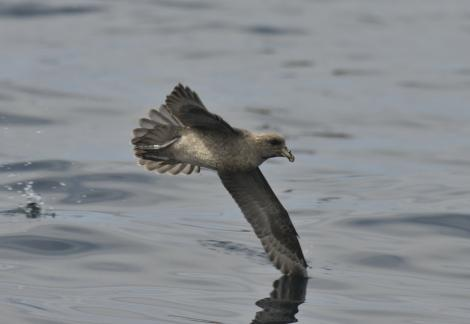 Northern fulmar. Dark morph adult (first record from Chile). At sea off Valparaiso, Chile, February 2017. Image © Manuel Marin by Manuel Marin