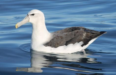White-capped mollymawk. Adult on water. Cook Strait, July 2012. Image © Michael Szabo by Michael Szabo