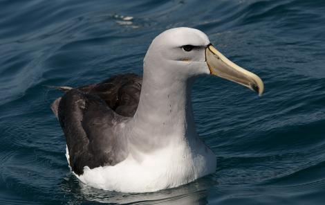 Salvin's mollymawk. Close view of adult on water. Kaikoura pelagic, January 2011. Image © Philip Griffin by Philip Griffin