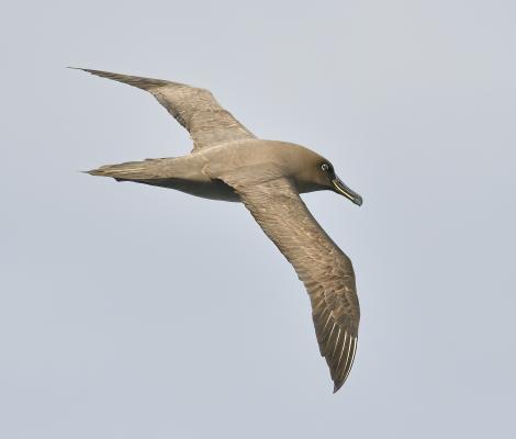 Sooty albatross. Adult at sea. South Atlantic Ocean (37, 49.3706S, 1, 33.5519E), March 2016. Image © Gordon Petersen by Gordon Petersen © Gordon Petersen