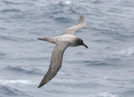 Light-mantled sooty albatross. Dorsal view of adult in flight. At sea off Campbell Island, November 2011. Image © Detlef Davies by Detlef Davies