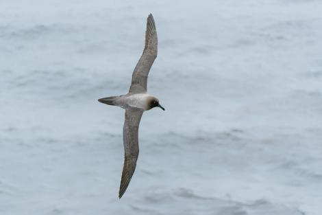 Light-mantled sooty albatross. Adult in flight showing light blue mandible stripe and eye crescent. Enderby Island Auckland Islands, January 2016. Image © Tony Whitehead by Tony Whitehead Tony Whitehead www.wildlight.co.nz