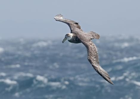 Southern giant petrel. Adult (dark morph) in flight. Drake Passage, February 2019. Image © Glenn Pure 2019 birdlifephotography.org.au by Glenn Pure
