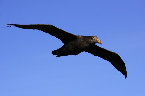 Northern giant petrel. Adult in flight. Antipodes Island, March 2010. Image © Mark Fraser by Mark Fraser