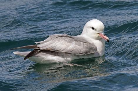 Antarctic fulmar. Adult on water. Mana Island, December 2009. Image © Duncan Watson by Duncan Watson
