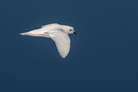 Snow petrel. Adult in flight. Crystal Sound, Antarctic Peninsula, February 2015. Image © Tony Whitehead by Tony Whitehead www.wildlight.co.nz