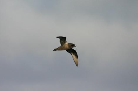 Kerguelen petrel. In flight. At sea, South Atlantic, March 2006. Image © David Boyle by David Boyle