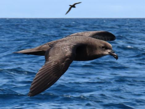 Grey-faced petrel. Adult in flight. At sea off the Poor Knights Islands, October 2019. Image © Scott Brooks (ourspot) by Scott Brooks