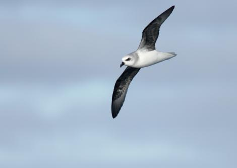White-headed petrel. Ventral view of bird in flight. At sea en route to Antipodes Island, April 2009. Image © David Boyle by David Boyle