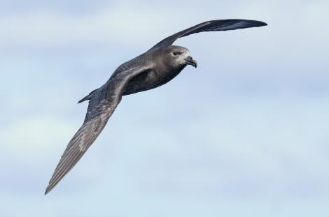 Providence petrel. Adult in flight. Lord Howe Island pelagic, April 2019. Image © Glenn Pure 2019 birdlifephotography.org.au by Glenn Pure