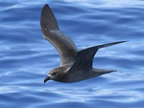 Providence petrel. Adult in flight. At sea on route to Kermadec Islands, March 2021. Image © Scott Brooks (ourspot) by Scott Brooks