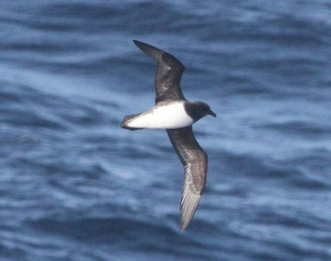 Chatham Island taiko. Adult in flight at sea. 140 km south-west of Chatham Island, November 2014. Image © Jim Holmes by Jim Holmes, Heritage Expeditions