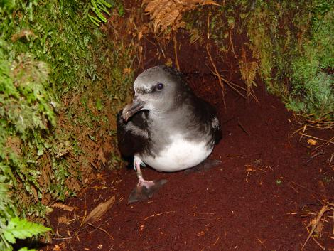 Chatham Island taiko. Front view of adult by burrow entrance. Tuku Nature Reserve, October 2006. Image © Graeme Taylor by Graeme Taylor