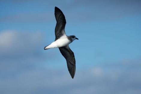 Soft-plumaged petrel. Adult in flight. Outer Hawke Bay, June 2016. Image © Les Feasey by Les Feasey