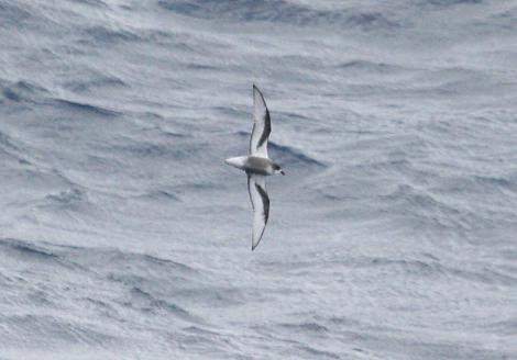 Mottled petrel. Adult in flight. At sea off the Auckland Islands, November 2011. Image © Detlef Davies by Detlef Davies