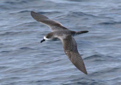 Juan Fernandez petrel. Adult in flight, dorsal. At sea off Valparaiso, Chile, October 2006. Image © Alvaro Jaramillo by Alvaro Jaramillo Courtesy of www.alvarosadventures.com